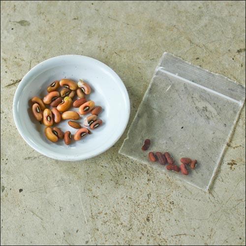 เมล็ดพันธุ์ถั่วพุ่ม