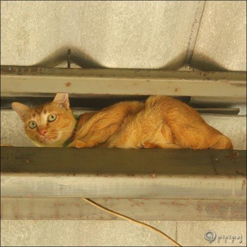 แมวบนคาน